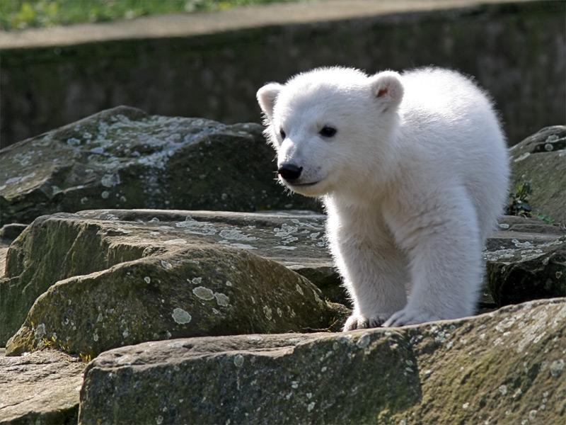 KNUT : l'ourson polaire devient le symbole de lutte pour l'environnement
