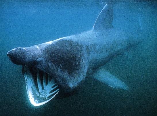 Un requin au Sable d'Olonne