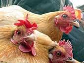 Grippe aviaire : un enfant contaminé en Egypte…