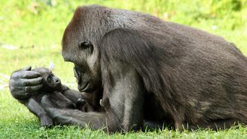 Une femelle gorille refuse de se séparer de son bébé mort.