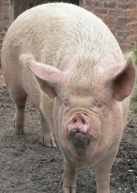 Psychose porcine…