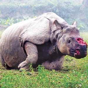 Le massacre des rhinocéros