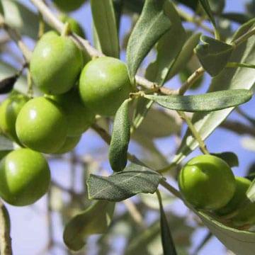 C'est le temps des olives!