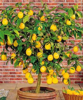 Le citronnier, roi des maisons