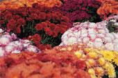 Le retour des chrysanthèmes pour la Toussaint.