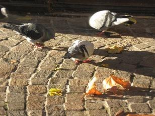 Les pigeons chambériens sont constipés