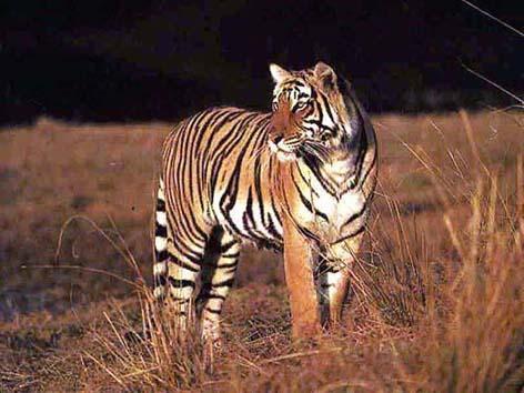 Il est urgent de sauver les tigres
