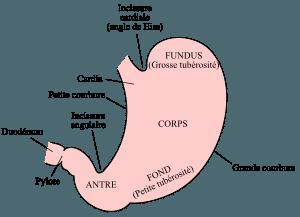 Maux et douleurs d'estomac : comment et pourquoi ?