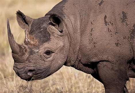 Quelle solution pour sauver les rhinocéros ?