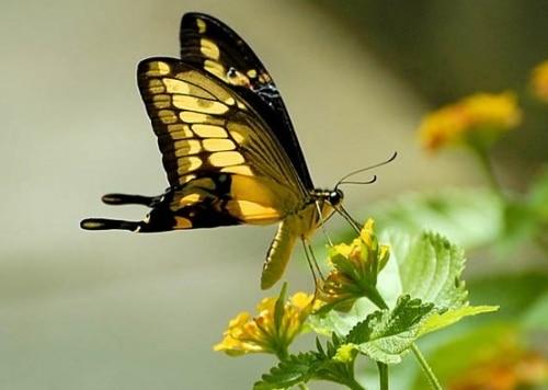 Le songe du Papillon…