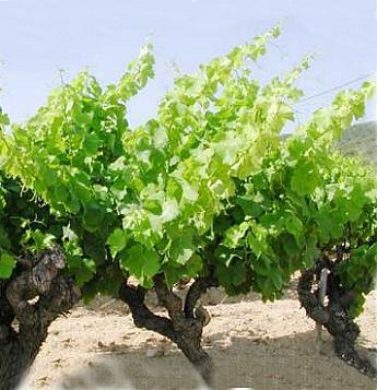 Nos grands vins sont-ils menacés par le réchauffement climatique ?