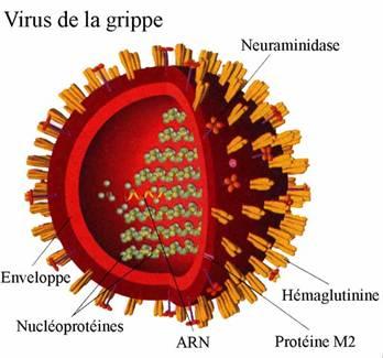 Le virus H5N1 mutant