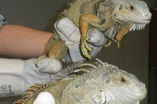 On a retrouvé deux iguanes dans une déchetterie communale !