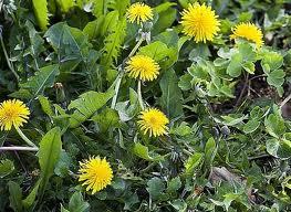 Mauvaises herbes : mangeons-les !!