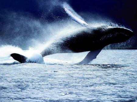 Nouvelles menaces pour les baleines.
