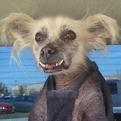 Chien Le Plus Laid le chien le plus laidcru 2012 - come4news