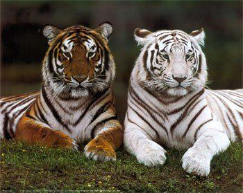 Les tigres en voie disparition