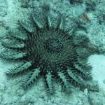 L'étoile de mer pourpre , un prédateur dangereux…