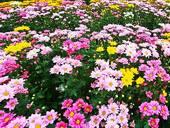 Des chrysanthèmes qui ensoleillent le mois de novembre.
