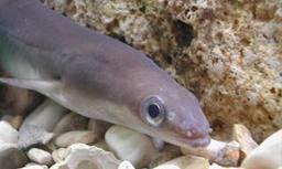 Et si l'anguille disparaissait ?