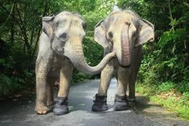 2 éléphants condamnés pour tuberculose