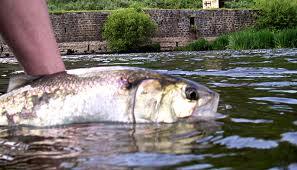 Un poisson peu connu : l'alose