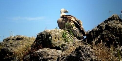 Le vautour, un nouveau prédateur qui inquiète les éleveurs.