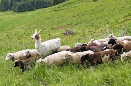 Des lamas gardiens de moutons !