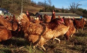 Algérie : Flambée des prix du poulet.