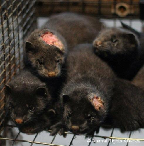 Le tribunal de la Haye au secours des fourreurs !