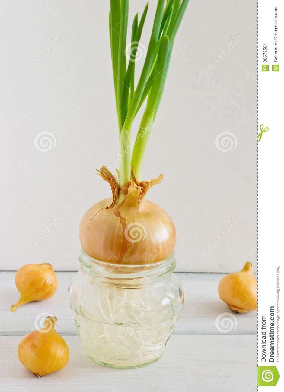Comment Cultiver Les Oignons comment planter oignon germe