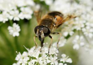 Syrphe (Syrphidae sp.) sur des fleurs d'apiacées (Apiaceae sp.).