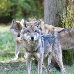 Le loup en France : mensonges et trahisons.